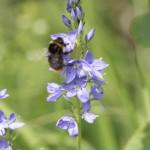 90 verschiedene Wildbienen-Arten wurden 2013 auf der Fläche von nur 1,5 ha gefunden