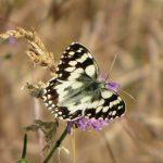 Biologischer Ackerbau bietet Lebensraum für Schmetterlinge wie das Damenschachbrett