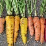 Vielfalt am Beispiel Karotten © Bio Forschung Austria