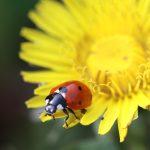 Marienkäfer - ein wichtiger Nützling da Blattlausfressfeind © Bio Forschung Austria
