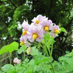 Blühende Erdäpfelpflanzen © Bio Forschung Austria