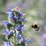 Mehr als 90 Wildbienenarten tummeln sich hier © Bio Forschung Austria
