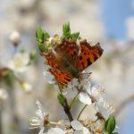 Wildbienen und Schmetterlinge ernähren sich von Nektar© Bio Forschung Austria