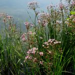 Schwanenblume © Bio Forschung Austria