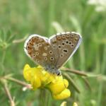 Himmelblauer Bläuling - Polyommatus Bellargus. Derzeit stark gefährdete Art, die im Raupenstadium auf der Bunten Kronwicke (Coronilla varia) lebt. (Foto H. Šefrová)