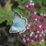Kleiner Esparsetten-Bläuling – Polyommatus thersites. Eine gefährdete Schmetterlingsart, die die im Raupenstadium auf Esparsette angewiesen ist. Foto Z. Laštůvka